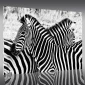 Cuadro metacrilato cebras