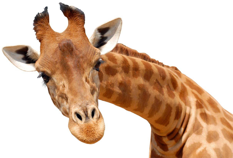 Stickers girafe pas cher - Dessin de girafe en couleur ...