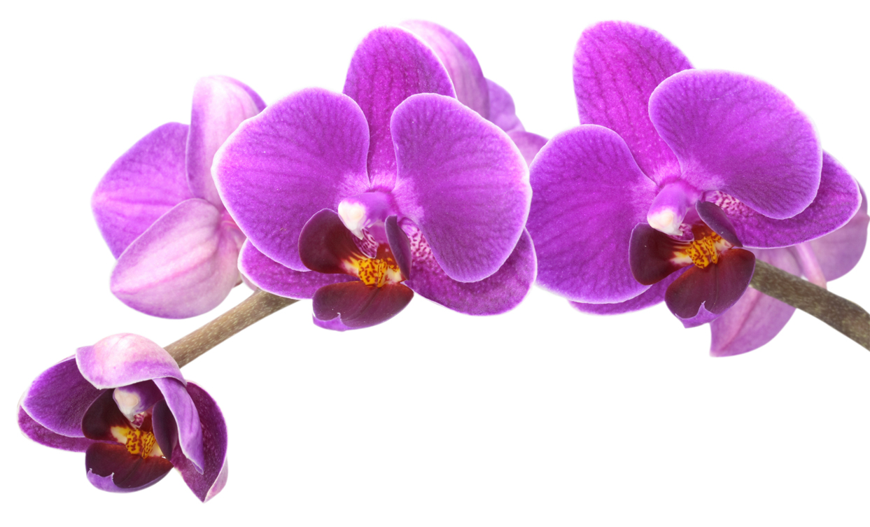 Stickers orchid e pas cher for Le orchidee