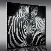Acrylglasbild Zebra