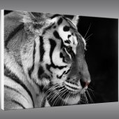 Obraz Forex - Tygrys