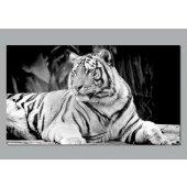 Plakat samoprzylepny - Tygrys